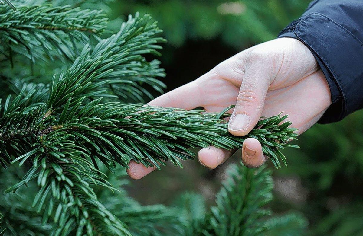 Weihnachtsbaum Nadeln.Sieben Fakten Zum Weihnachtsbaum Mitte