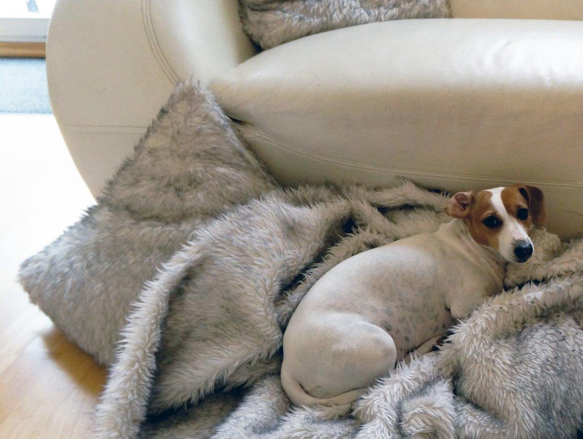 Milly erholt sich beim Spiel mit der Decke von ihrem Einsatz als Therapiebegleithund.