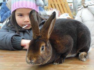 Kaninchen Im Schonheitswettbewerb 500 Tiere Bei Der 4 Kreisjungtierschau Staaken
