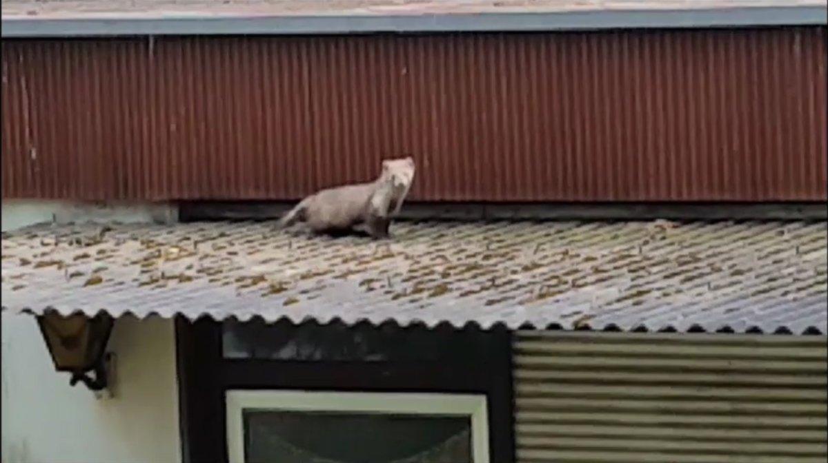 steinmarder unterm dach sie mimen den poltergeist - zehlendorf