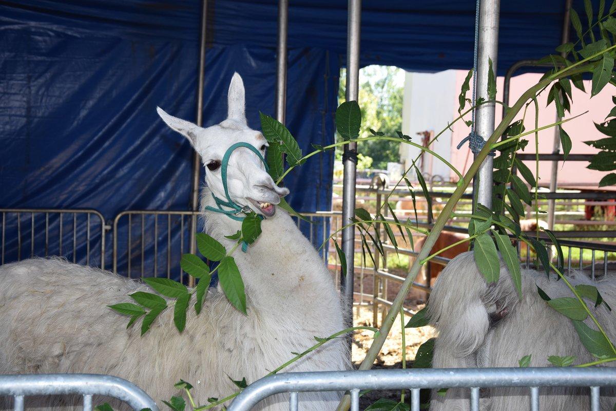 Die frischen grünen Zweige sind den Lamas sehr willkommen.