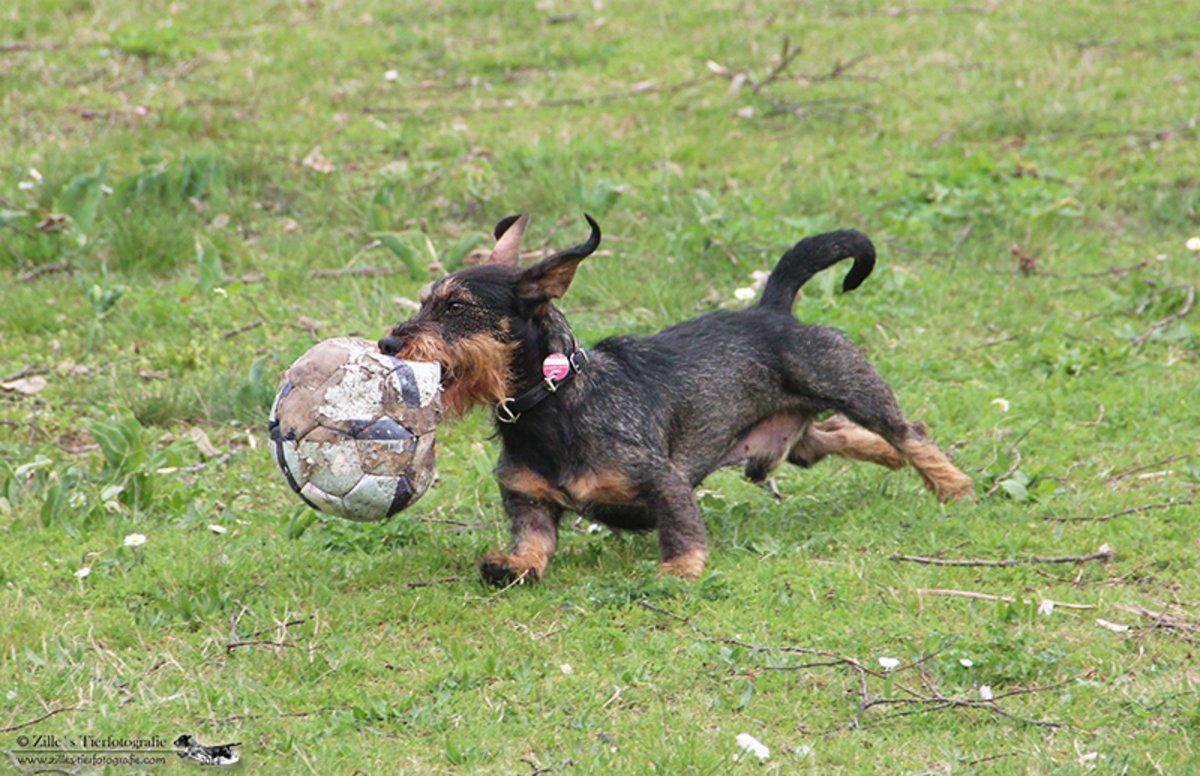 Dackel ,Strolch-Justav von den Densenbergen beim Ball spielen