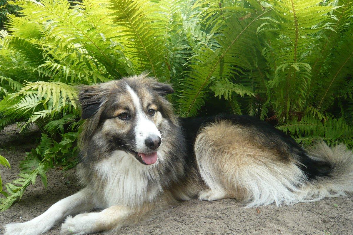 Buddy, am schattigem Lieblingsplatz vor dem Farne im Garten ,relex u. alles im Blick