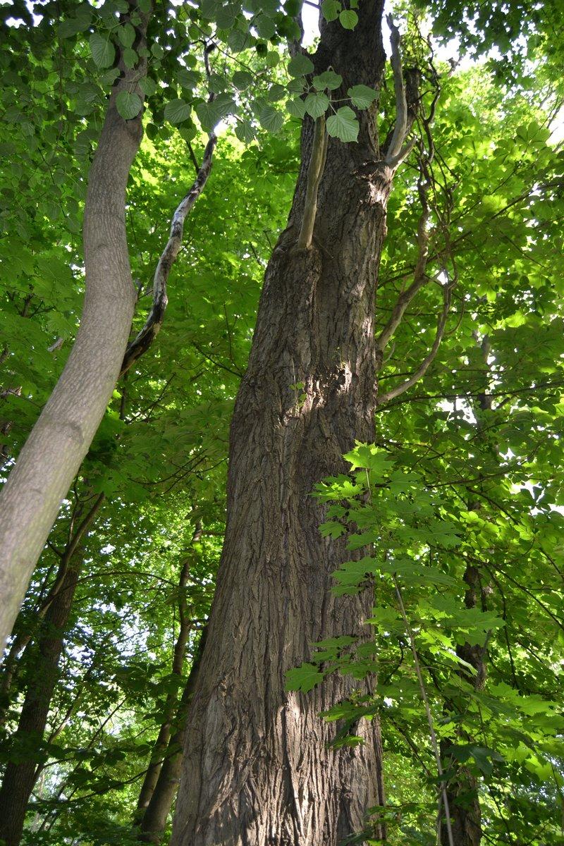 Auf dem Waldgrundstück finden sich kaum große Bäume. Dieser ist eher eine Ausnahme.